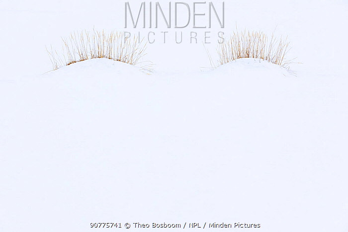 Eyelash shaped tufts of grass in snow on beach, Saudarkrokur, Iceland. March. Winner of the Plants category of the GDT European Wildlife Photographer of the Year Awards 2017.