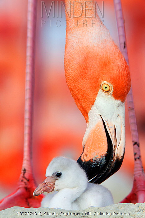 Caribbean Flamingo (Phoenicopterus ruber) preening chick in the breeding colony, Ria Lagartos Biosphere Reserve, Yucatan Peninsula, Mexico, June Finalist in the Portfolio Category of the Terre Sauvage Nature Images Awards 2017.