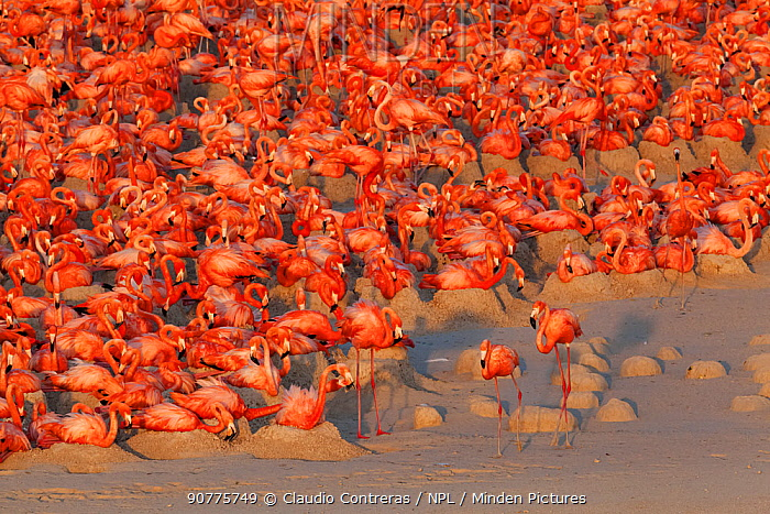 Aerial view of Caribbean Flamingo (Phoenicopterus ruber) breeding colony, Ria Lagartos Biosphere Reserve, Yucatan Peninsula, Mexico, May, Finalist in the Portfolio Category of the Terre Sauvage Nature Images Awards 2017.