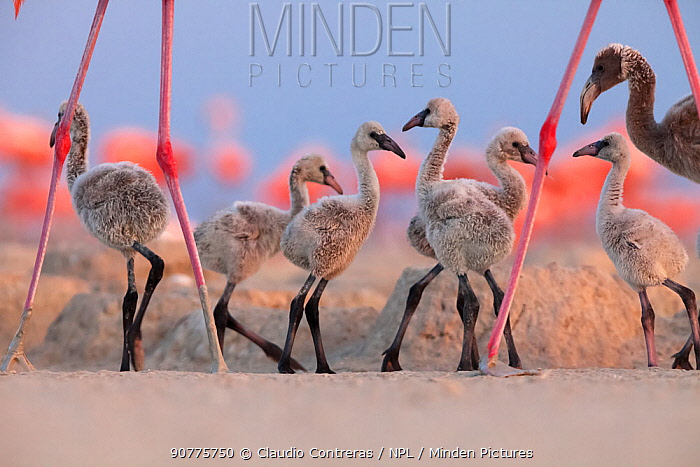 Caribbean Flamingo (Phoenicopterus ruber) chick group walking around the breeding colony, Ria Lagartos Biosphere Reserve, Yucatan Peninsula, Mexico, June, Finalist in the Portfolio Category of the Terre Sauvage Nature Images Awards 2017.
