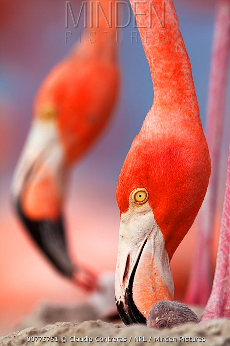 Caribbean Flamingo (Phoenicopterus ruber) tending to newborn chick while another feed two day old chick, breeding colony, Ria Lagartos Biosphere Reserve, Yucatan Peninsula, Mexico, June, Finalist in the Portfolio Category of the Terre Sauvage Nature Images Awards 2017.