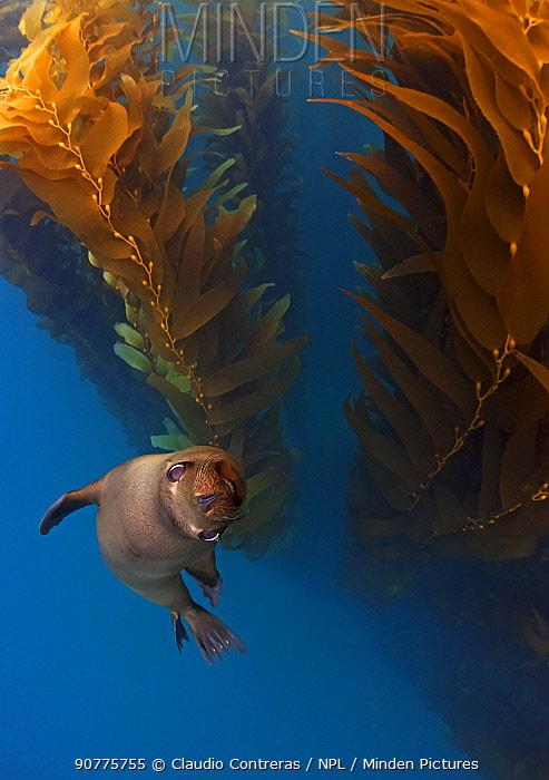Californian Sealion (Zalophus californianus) in kelp (Macrocystis pyrifera) forest, San Benito del Este Island, Baja California Peninsula Pacific Islands Biosphere Reserve, Baja California, Mexico, May, Honorary Mention in the 'Nature Photographer of the Year 2017'