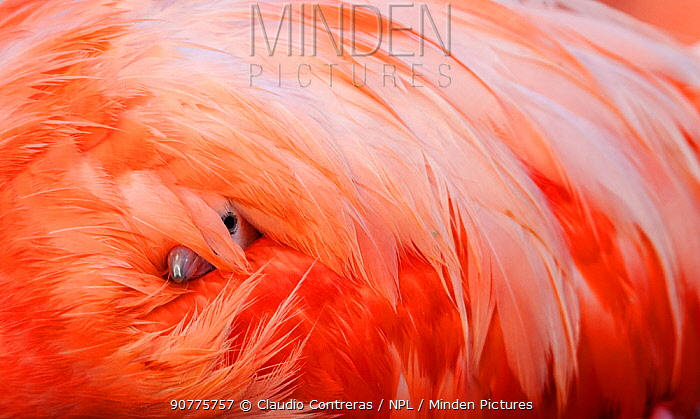 Caribbean Flamingo (Phoenicopterus ruber) chick under the wing of protective parent, breeding colony, Ria Lagartos Biosphere Reserve, Yucatan Peninsula, Mexico, June.Finalist in the Portfolio Category of the Terre Sauvage Nature Images Awards 2017. First Prize in the '2017 National Wildlife Photo Contest' organised by the National Wildlife Federation of the USA