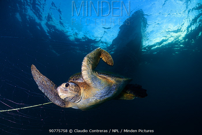 Green Turtle (Chelonia mydas) trapped in fishing net, Sea of Cortez (Gulf of California), Mexico, May, Third Place in the third National Contest 'Visions of our nature' organised by Mexico's National Biodiversity Commission