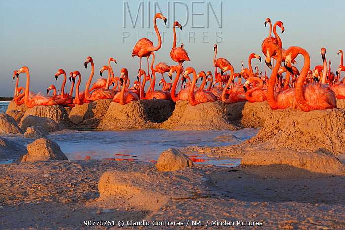 Caribbean Flamingo (Phoenicopterus ruber) breeding colony, Ria Lagartos Biosphere Reserve, Yucatan Peninsula, Mexico, June. Finalist in the Portfolio Category of the Terre Sauvage Nature Images Awards 2017.