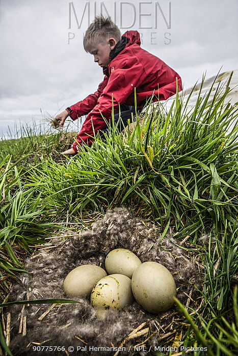 Man collecting Common eider (Somateria mollissima) down from nest, Norway, June 2014.