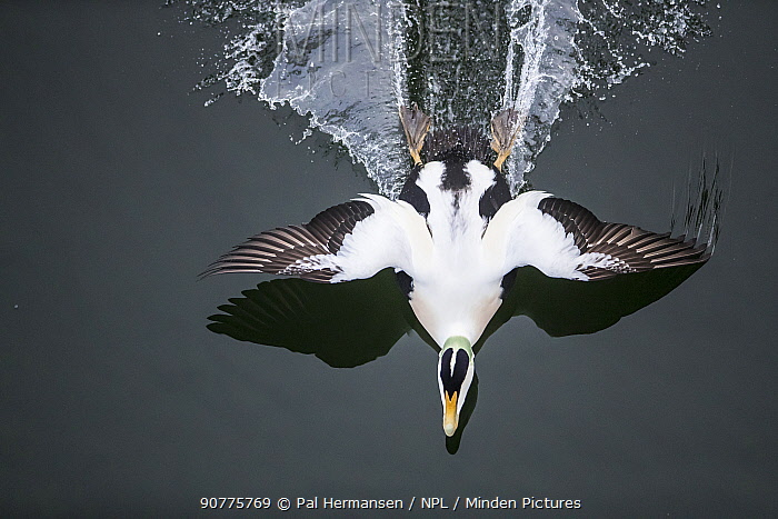 Common eider (Somateria mollissima) male landing, seen from above,  Trondelag Norway, January. Winner of the Portfolio Award of the Terre Sauvage Nature Images Awards Competition 2017.