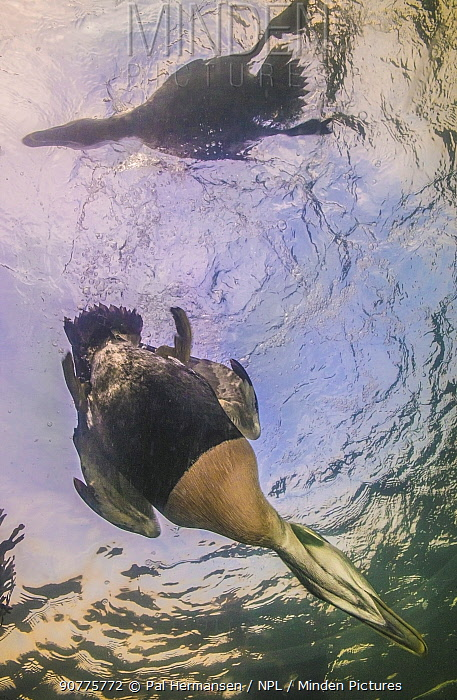 Common eider duck (Somateria mollissima) male diving, viewed from underwater, Trondelag, Norway, January. Winner of the Portfolio Award of the Terre Sauvage Nature Images Awards Competition 2017.