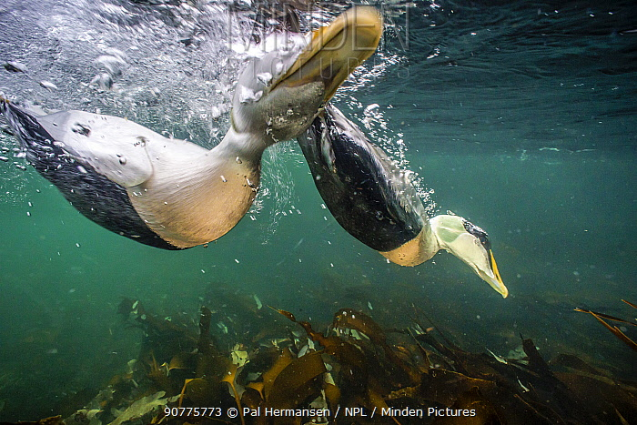Common eider duck (Somateria mollissima) males diving, viewed from underwater, Trondelag, Norway, January. Winner of the Portfolio Award of the Terre Sauvage Nature Images Awards Competition 2017.