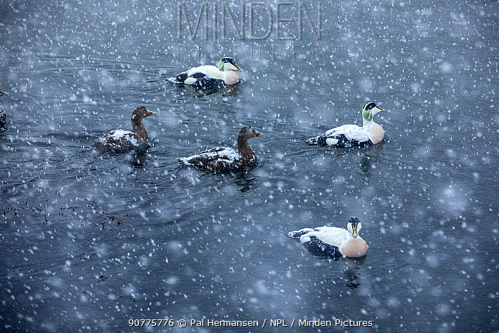 Common eider duck (Somateria mollissima) in snowfall, Trondelag, Norway, January. Overall winner of the Terre Sauvage Nature Images Awards 2017. Winner of the Portfolio Award of the Terre Sauvage Nature Images Awards Competition 2017.