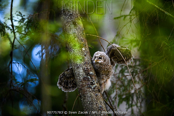 Ural owl (Strix uralensis) chick stretching wings on branch, Tartu County, Estonia. Second Place in the Portfolio category of the Terre Sauvage Nature Images Awards 2017.