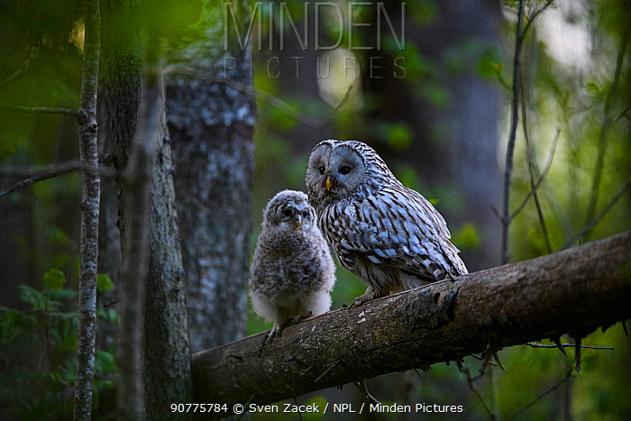Ural owl (Strix uralensis) adult and chick on branch, Tartu County, Estonia. May. Second Place in the Portfolio category of the Terre Sauvage Nature Images Awards 2017.