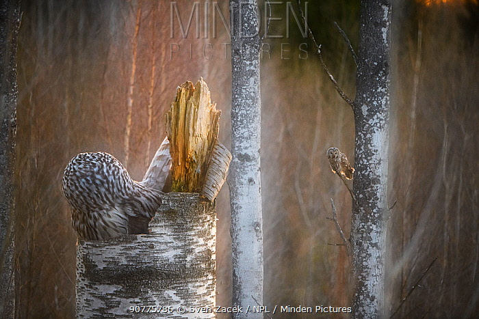 Ural owl (Strix uralensis) pair, one on nest and another perched in tree in background. Tartu County, Estonia. May. Second Place in the Portfolio category of the Terre Sauvage Nature Images Awards 2017.