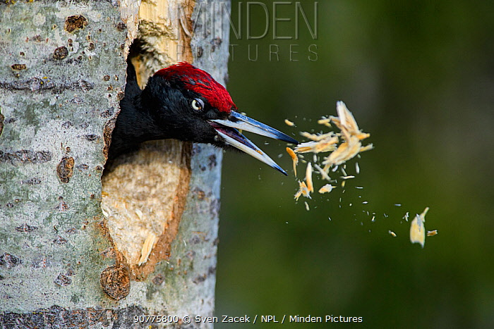 Black woodpecker (Dryocopus martius) excavating nest hole in tree trunk, Valga County, Estonia. April. Highly commended in the Portfolio category of the Terre Sauvage Nature Images Awards 2017.