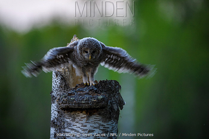 Ural owl (Strix uralensis) chick standing on edge of nest in tree stump stretching wings, Tartu County, Estonia. April. Second Place in the Portfolio category of the Terre Sauvage Nature Images Awards 2017.