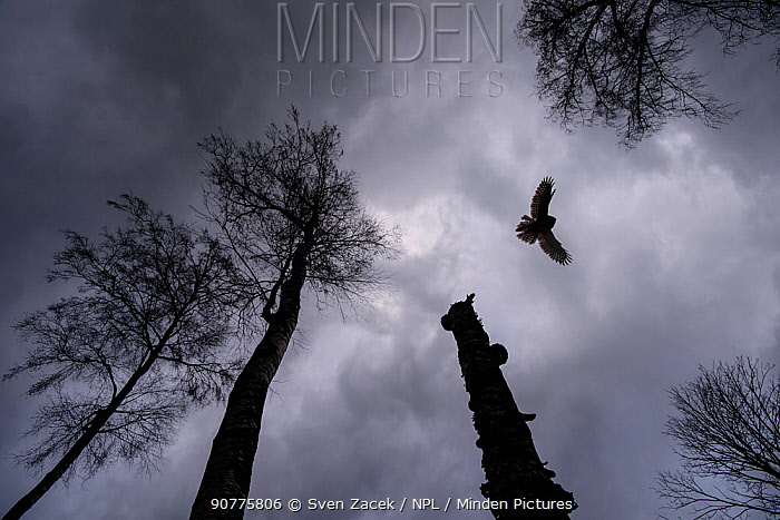 Ural owl (Strix uralensis)  in flight, viewed from below, Tartu County, Estonia. April. Second Place in the Portfolio category of the Terre Sauvage Nature Images Awards 2017.