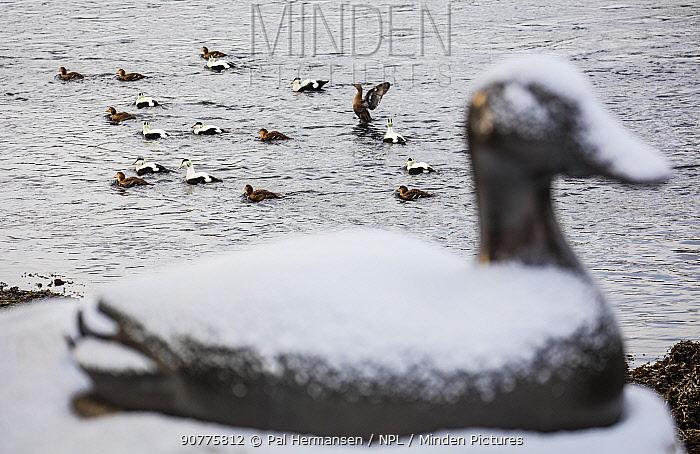 Eider ducks sculpture, with Common eider (Somateria mollissima) ducks on water in the background,  Straumen, Trondelag, Norway. February 2016.