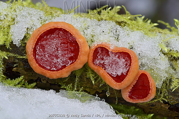 Scarlet elf cup fungi (Sarcoscypha coccinea) group of three with snow, Bedfordshire, England, UK, January. Focus stacked image