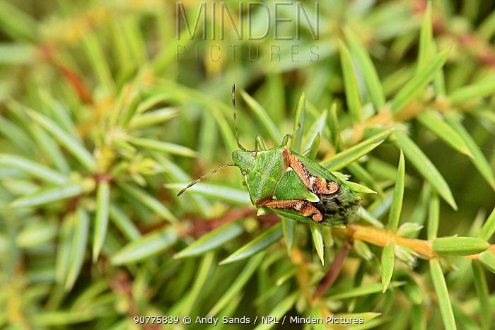 Juniper shieldbug (Cyphostethus tristriatus) Buckinghamshire, England, UK, September