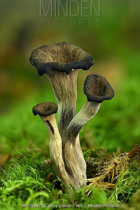 Horn of plenty fungus (Craterellus cornucopioides) trumpet shaped fungi growing among moss under deciduous trees, Buckinghamshire, England, UK. Focus Stacked Image.