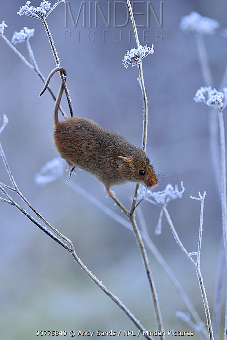 Harvest mouse {Micromys minutus) climbing among frosty vegetation, Hertfordshire, England, UK, Controlled conditions