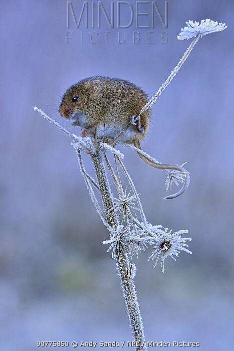 Harvest mouse (Micromys minutus) sitting on frosty seedhead, Hertfordshire, England, UK, January, Controlled conditions