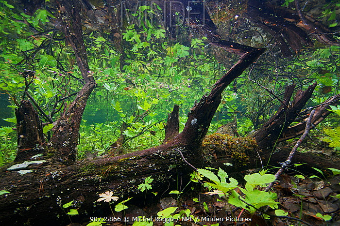 Underwater view in flooded forest, Ume River, Lycksmyran Lapland, Sweden July 2015 . Photographed for The Freshwater Project