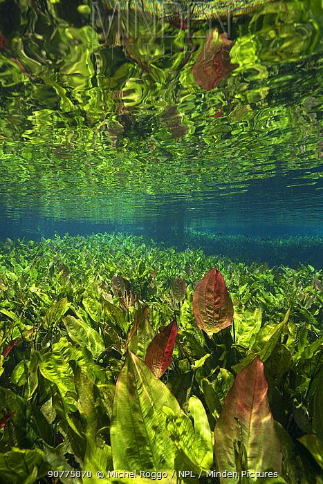 Burhead plants (Echinodorus macrophyllus) Aquario Natural, Rio Baja Bonito, Serra da Bodoquena (Bodoquena Mountain Range), Mato Grosso do Sul, Brazil. Photographed for The Freshwater Project