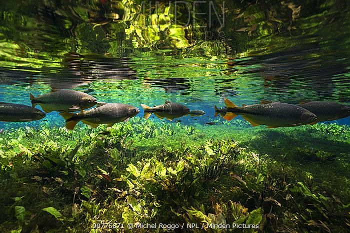 Piraputanga (Brycon hilarii) in Burhead (Echinodorus macrophyllus) Aquario Natural, Rio Baja Bonito, Serra da Bodoquena (Bodoquena Mountain Range), Mato Grosso do Sul, Brazil. Photographed for The Freshwater Project