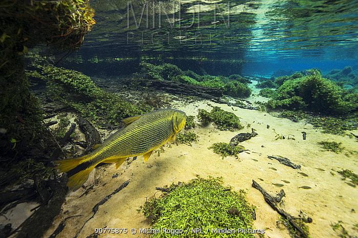 Dourado (Salminus maxillosus) Rio Olhio d'Agua, tributary of Rio da Prata, Bonito area, Serra da Bodoquena, Mato Grosso do Sul, Brazil November 2016 . Photographed for The Freshwater Project