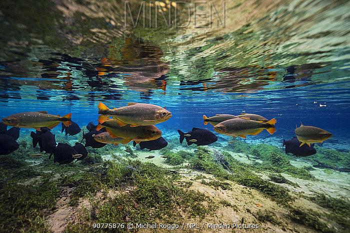 Piraputanga (Brycon hilarii) and Pacu (Piaractus mesopotamicus) Rio Olhio d'agua, tributary of Rio da Prata Bonito area, Serra da Bodoquena, Mato Grosso do Sul, Brazil, November 2016 . Photographed for The Freshwater Project
