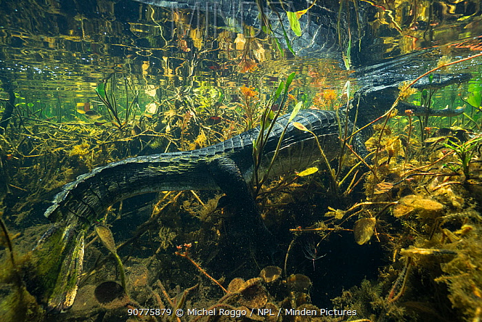 Yacare caiman (Caiman yacare) underwater, Pantanal, Brazil. Photographed for The Freshwater Project