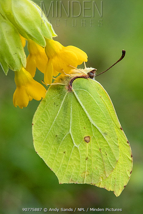 Brimstone butterfly (Goneopteryx rhamni) male roosting on Cowslip (Primula veris) Bedfordshire, England, UK, April