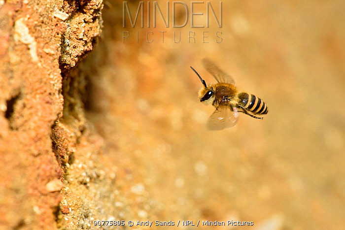 Ivy bee (Colletes hederae) new species to the UK in 2001. In flight up to nest tunnel in sandy bank, Oxfordshire, England, UK, October
