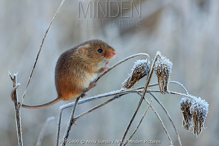 Harvest mouse (Micromys minutus) climbing on frosty seedhead, Hertfordshire, England, UK, January, Controlled conditions
