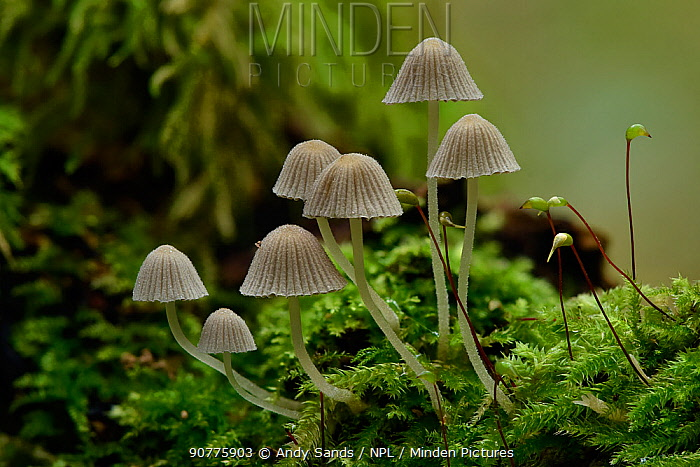 Fairy inkcap fungus (Coprinellus disseminatus) small group of this inkcap growing from mossy log, Oxfordshire, England, UK, October. Focus Stacked Image