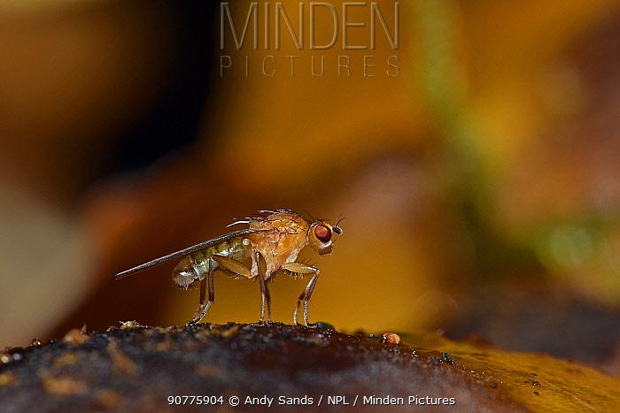 Fly (Dryomyza analis) a distinctive fly associated with various fungi, Bedfordshire, England, UK, October
