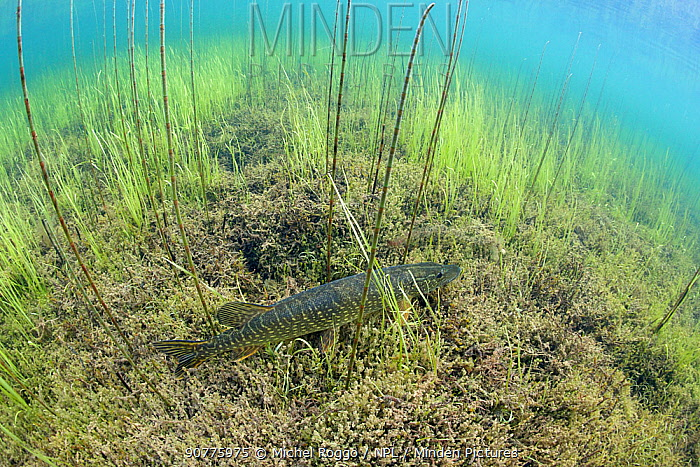 Northern Pike (Esox lucius) in a fishing lake, Northern Rockies, British Columbia, Canada, July. Photographed for The Freshwater Project