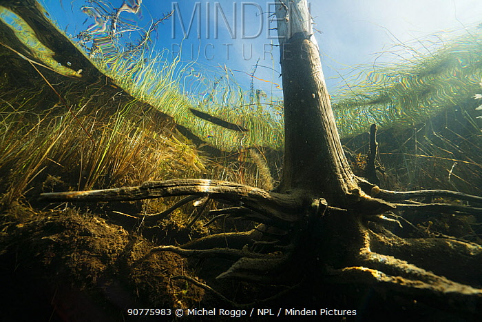 Tree viewed from underwater, Triangle Lake, Northern Rockies, British Columbia, Canada. August 2016 . Photographed for The Freshwater Project