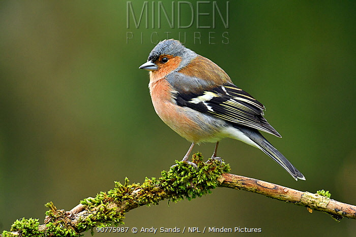 Chaffinch (Fringilla coelebs) male perched on mossy branch, Buckinghamshire, England, UK, February