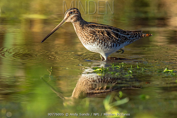 Snipe (Gallinago gallinago) wading in shallow water of watercress bed in winter, Hertfordshire, England, UK, January