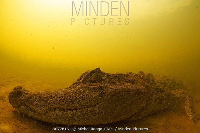 Black caiman (Melanosuchus niger) on sandy ground, Rio Negro tributary, with the typical red colour of the water, Amazon, Brazil. Photographed for The Freshwater Project