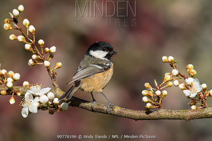 Coal tit (Periparus ater) perched among spring blackthorn blossom, Buckinghamshire, England, UK, April