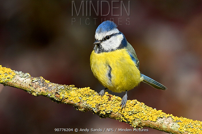 Blue tit (Parus caeruleus) perched on lichen covered twig, Buckinghamshire, England, UK, March