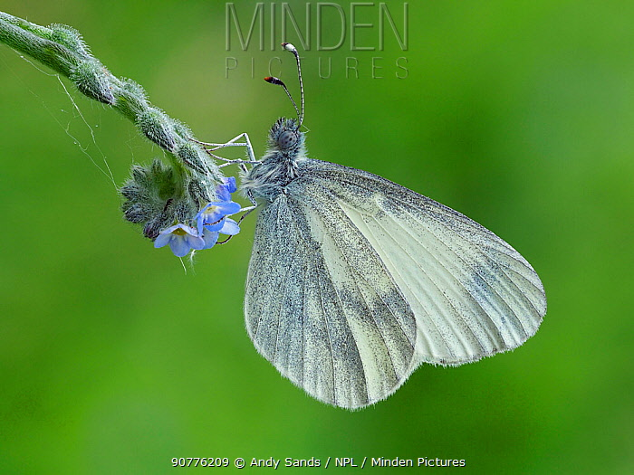 Wood White butterfly (Leptidea sinapis) on Early Forget-me-not (Myosotis ramosissima), Surrey, England, UK, May - Focus Stacked