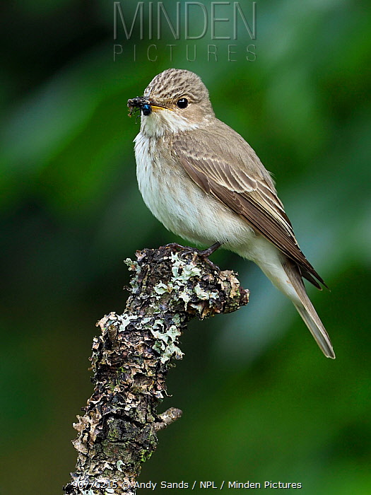 Spotted flycatcher (Muscicapa striata) perched with Blue bottle fly prey, Upper Teesdale, Co Durham, England, UK, June