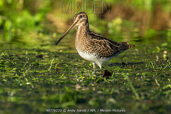 Snipe (Gallinago gallinago) feeding in watercress bed in winter, Hertfordshire, England, UK, January