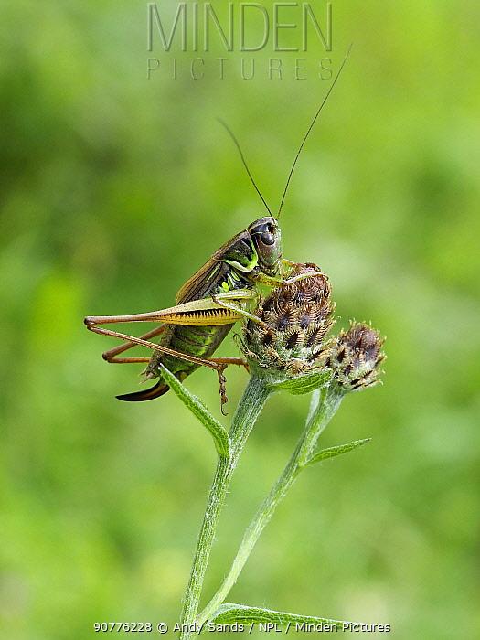 Roesel's bush cricket (Metrioptera roeselii) female short winged form on Knapweed, Hertfordshire, England, UK, August