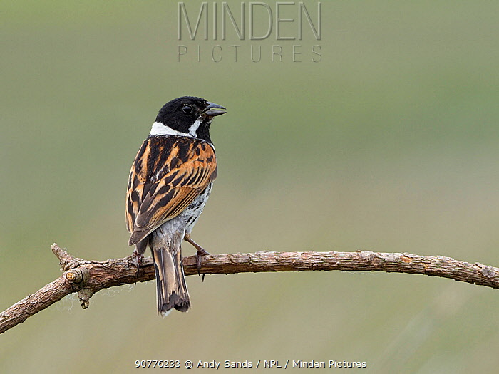 Reed bunting (Emberiza schoeniclus) male calling from on dead twig, Upper Teesdale, County Durham, England, UK, June