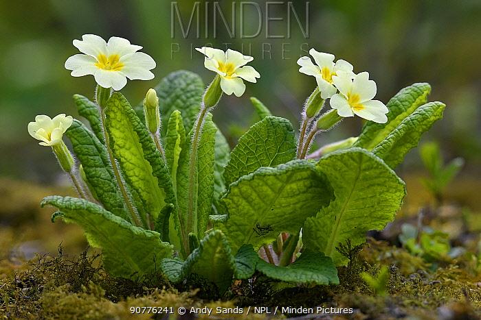 Common primrose (Primula vulgaris)  in flower, Hertfordshire, England, UK, March